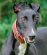 Sponsor a Kerry Greyhound