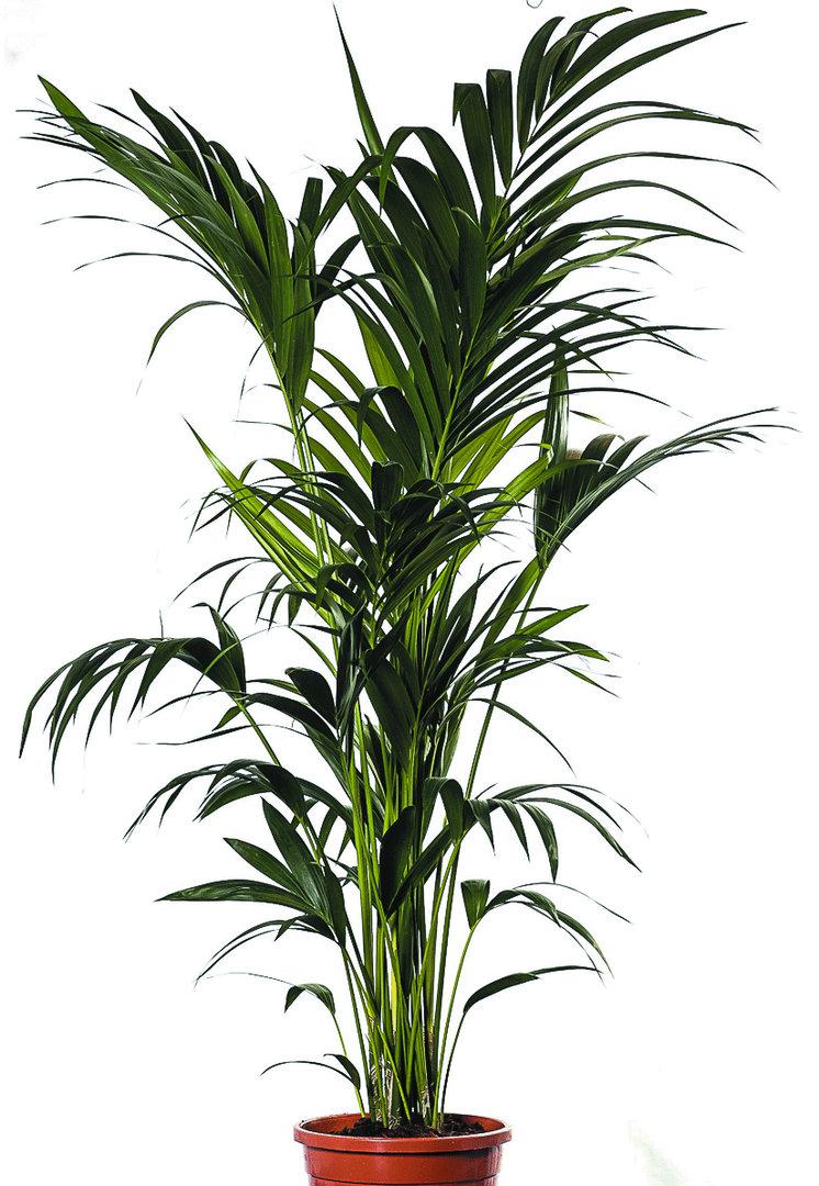 kentia palme 170 messe mietmoebel. Black Bedroom Furniture Sets. Home Design Ideas