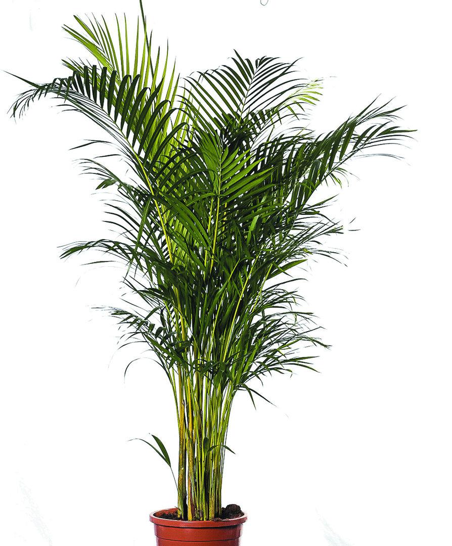 Areca palme pflege zimmerpalme chrysalidocarpus lutescens - Zimmerpflanze palme ...