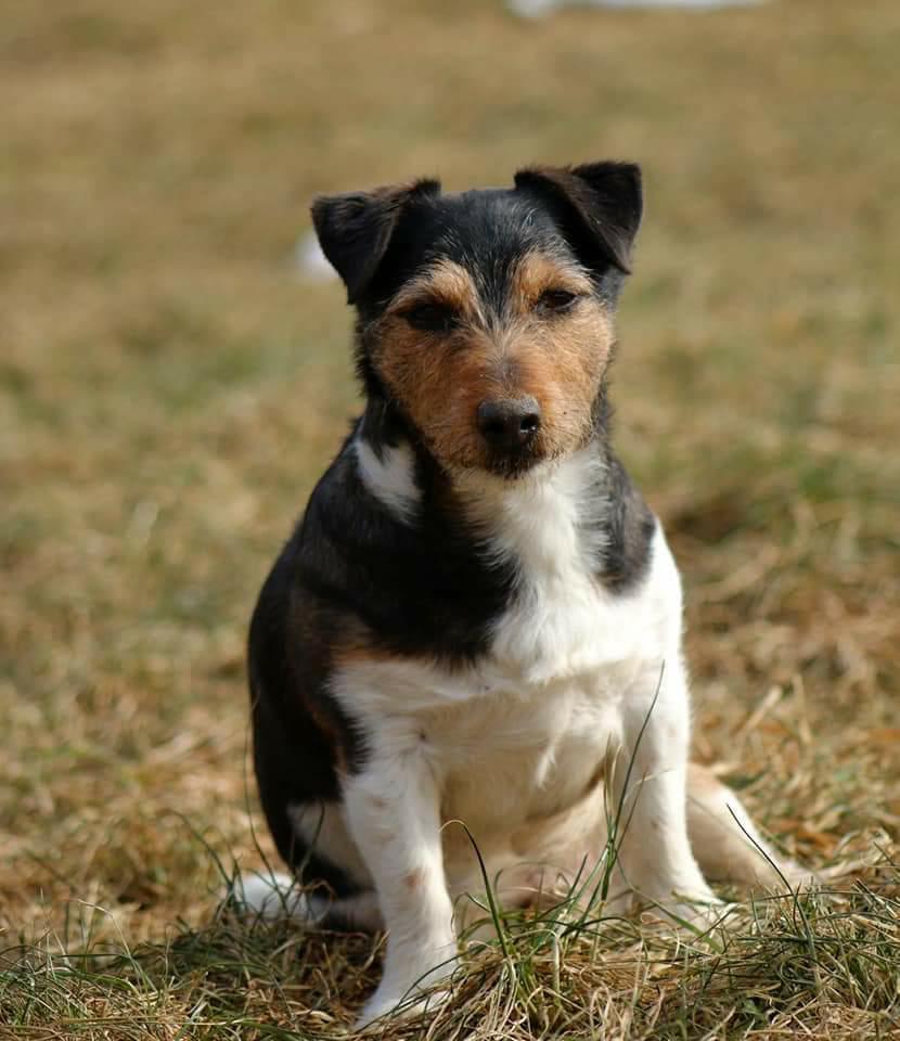 Kleinbleibende Hunde Ausgewachsen